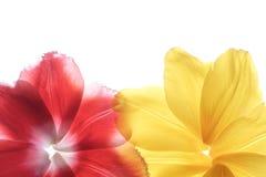 Pétalos de la flor en un fondo blanco Imágenes de archivo libres de regalías