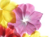 Pétalos de la flor en un fondo blanco Imagen de archivo libre de regalías