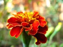 Pétalos de la flor de la maravilla del rojo de ladrillo en macro foto de archivo libre de regalías