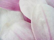 Pétalos de la magnolia imagen de archivo