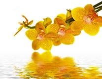 Pétalos de la orquídea que reflejan en agua Imagen de archivo