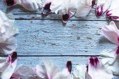 Pétalos de la peonía de la flor de la boda en la tabla azul desde arriba Endecha plana s Foto de archivo libre de regalías