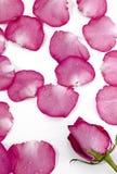 Pétalos de rosa, pétalas cor-de-rosa Fotografia de Stock