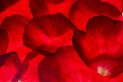 Pétalos de rosa rojos Imagenes de archivo