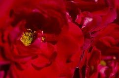 Pétalos de rosas rojas brillantes con néctar amarillo bajo rayos del sol foto de archivo libre de regalías
