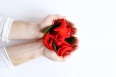 Pétalos de rosas rojas en manos en un fondo blanco Imagen de archivo libre de regalías
