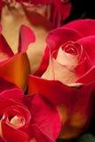 Pétalos de Rose Imagen de archivo libre de regalías