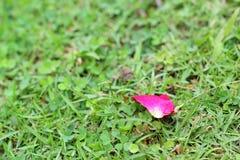Pétalos de Rose en la hierba Imagenes de archivo