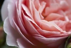 Pétalos de Rose rosados 01 Foto de archivo libre de regalías