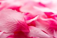 Pétalos de Rose rosados 01 Foto de archivo