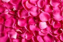 Pétalos de Rose, visión superior Fondo floral Fotografía de archivo
