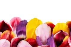Pétalos de tulipanes Foto de archivo libre de regalías