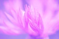 Pétalos de un primer del aciano de un color púrpura Flor macra muy delicada Foco selectivo Imagen de archivo