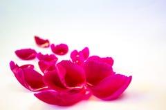 Pétalos de una peonía rosada en un fondo blanco, primer fotos de archivo