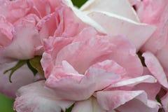 Pétalos de una rosa Imagen de archivo