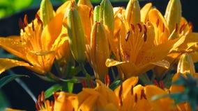 Pétalos del lirio anaranjado debajo de la lluvia almacen de metraje de vídeo