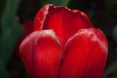 Pétalos del primer rojo del tulipán Imagen de archivo