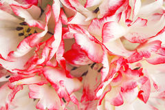 Pétalos del tulipán de Terry Imagen de archivo