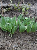 Pétalos del tulipán del jardín foto de archivo libre de regalías