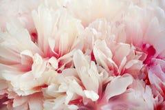 Pétalos enormes de una peonía blanca con una transición al rosa, primer Imágenes de archivo libres de regalías