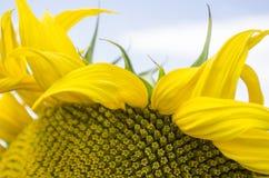 Pétalos florecientes del girasol Imágenes de archivo libres de regalías