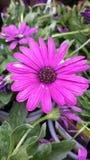 Pétalos púrpuras Fotografía de archivo