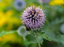 Pétalos púrpuras de la flor y una abeja Imagen de archivo libre de regalías