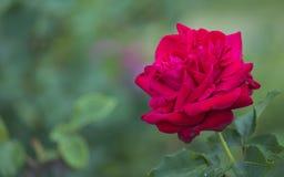 Pétalos rojos brillantes de una flor color de rosa grande Foto de archivo