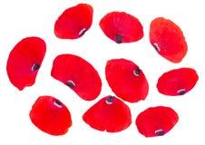 Pétalos rojos de la amapola Fotografía de archivo