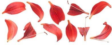 Pétalos rojos de los lirios fotografía de archivo libre de regalías