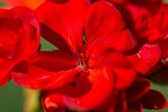 Pétalos rojos del detalle de una flor Foto de archivo libre de regalías