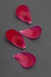 Pétalos rojos dispersados de la flor en negro Imágenes de archivo libres de regalías