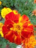 Pétalos rojos hermosos Imagen de archivo