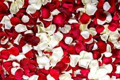 Pétalos rojos y blancos Fotografía de archivo