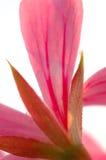 Pétalos rosados fotos de archivo