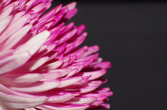Pétalos rosados Imagen de archivo