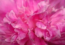 Pétalos rosados de la peonía como fondo Imagen de archivo