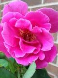 Pétalos rosados de una rosa Fotos de archivo