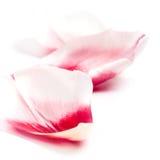 Pétalos rosados del tulipán Foto de archivo