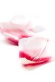 Pétalos rosados del tulipán Imagen de archivo libre de regalías