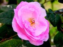 Pétalos rosados delicados de una flor color de rosa del té Fotografía de archivo libre de regalías