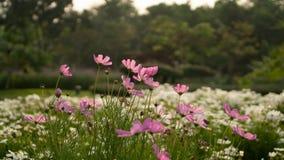 Pétalos rosados hermosos del flor de la flor del cosmos en las flores blancas y hojas verdes, pequeño brote en un parque, árboles foto de archivo