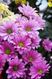 Pétalos rosados y centro verde de flores Fotos de archivo