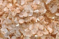 Pétalos secos de la hortensia Foto de archivo libre de regalías