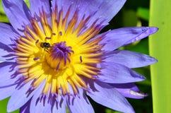 Pétalos violetas del lirio de agua Fotos de archivo