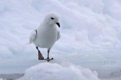 Pétrel de neige se tenant au bord d'une fente Images libres de droits