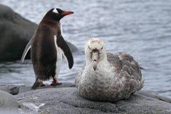 Pétrel géant de l'Antarctique et pingouin de gentoo Photographie stock libre de droits
