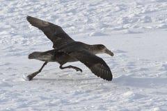 Pétrel géant du sud pendant le décollage des gisements de glace d'Anta Images libres de droits