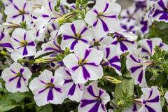 Pétunia photo stock