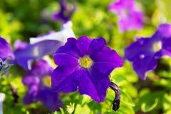 pétunia Photographie stock libre de droits